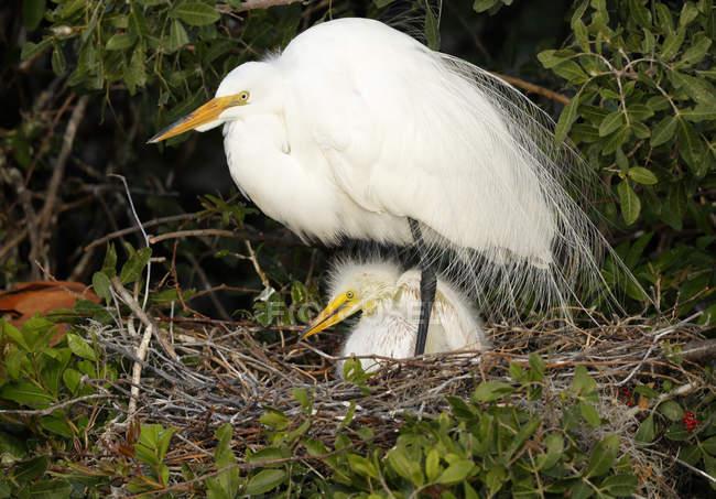 Silberreiher im Nest mit einem Küken — Stockfoto