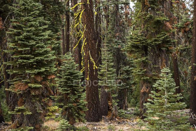 Дерева в forset в національному парку Йосеміті, Каліфорнія, США — стокове фото