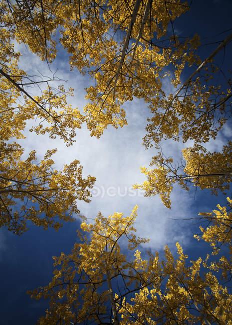Vista de ángulo bajo de Aspen árboles en otoño - foto de stock
