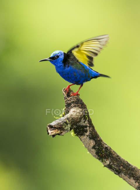 Червоний ногами Honeycreeper буде приймати польотом, Коста-Ріка — стокове фото