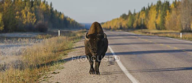 Bisonte parado en la carretera de territorios del noroeste - foto de stock