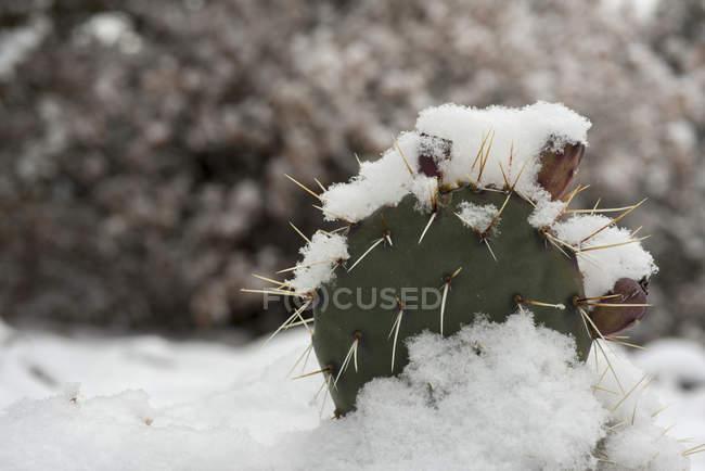 Снежинки накапливаются на Кактус в Тручас, Нью-Мексико — стоковое фото