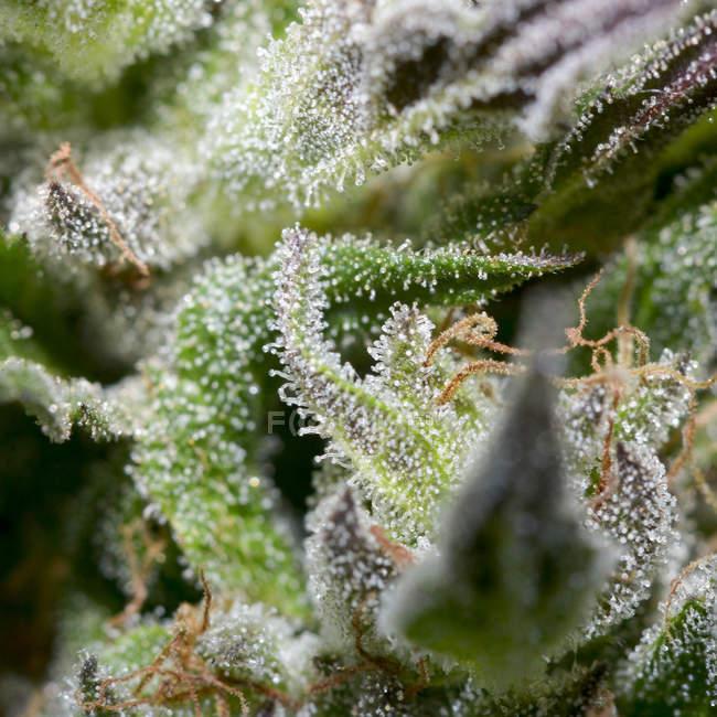 Feuilles de prise de vue macro du plant de cannabis — Photo de stock