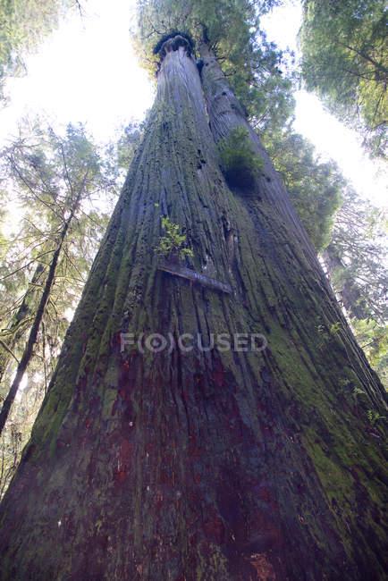 Низький кут зору секвоядендрон дерев в Національний парк Редвуд — стокове фото
