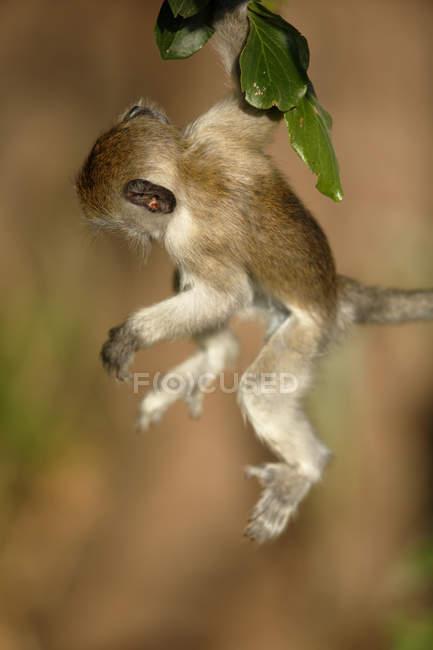 Vervet Affen schwingen aus dem Fenster lehnen — Stockfoto