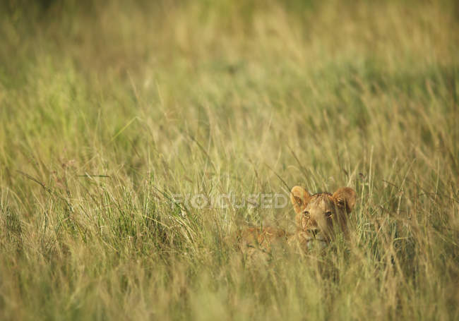 Lionceau dans les hautes herbes au parc national de serengeti — Photo de stock