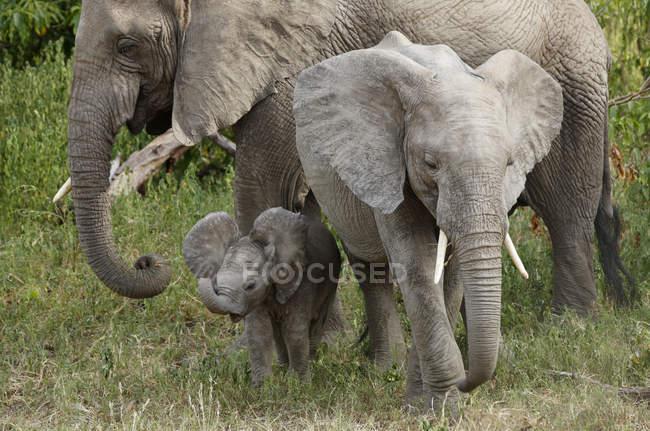 Eine Gruppe von wilden Elefanten — Stockfoto