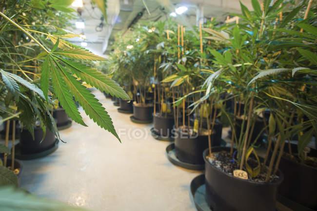 Vue de l'allée de l'installation médicale de culture de marijuana Rx Green Solutions — Photo de stock