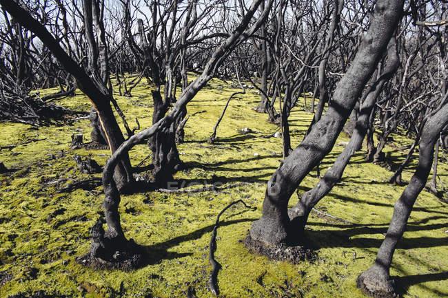 Трава росте на повністю палена лісу — стокове фото