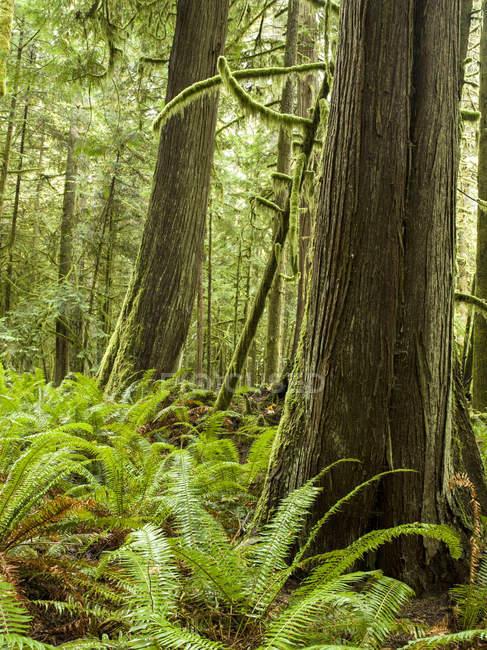 Кедровые деревья, растущие в Олимпийский тропических лесов — стоковое фото