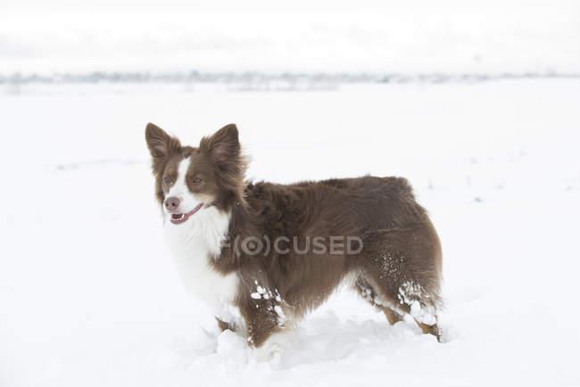Commandes de Berger australien contently dans un champ neigeux — Photo de stock