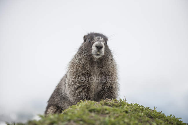 Hoary Marmot in Washington North Cascades — Stockfoto