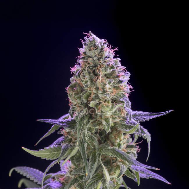 Gros plan de la plante de cannabis isolé sur fond noir — Photo de stock