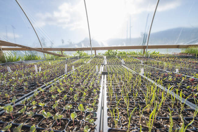 Seedlings in a greenhouse at an organic farm — Stock Photo