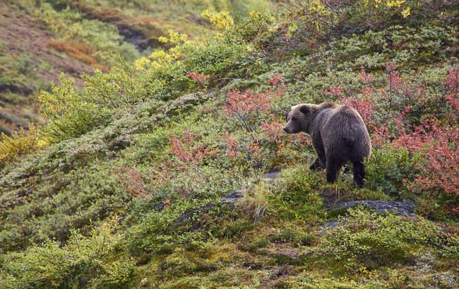 Oso Grizzly en denali - foto de stock