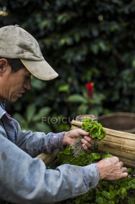 Farmer Picking Leaves Of Coffee Seedlings For Harvesting — Stock Photo