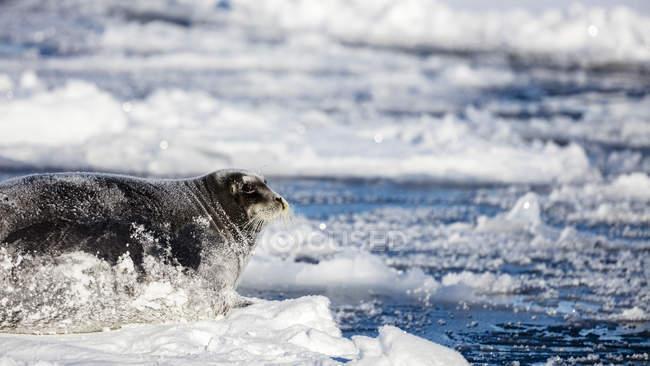 Grande foca barbuta che si trova su un pezzo di ghiaccio con la neve che coprono il suo corpo — Foto stock