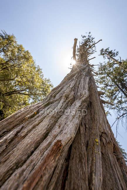Нижній подання Талль Редвуд дерева з сонцем за ним в національному парку Йосеміті, Ca — стокове фото