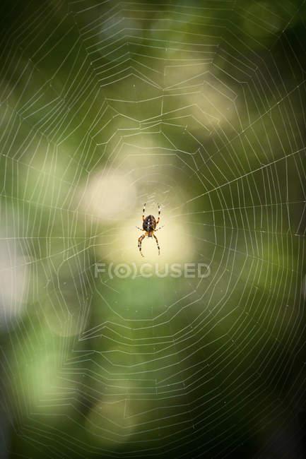 Close-up vista do Aranha de jardim Europeu, Araneus Diadematus e teia de aranha na floresta — Fotografia de Stock