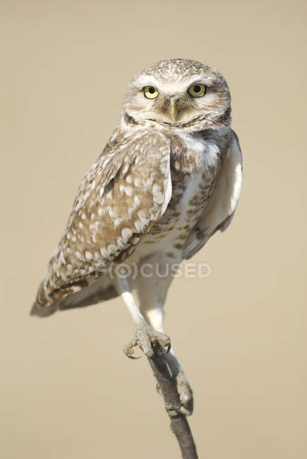 Burrowing Owl sitting on branch — Stock Photo