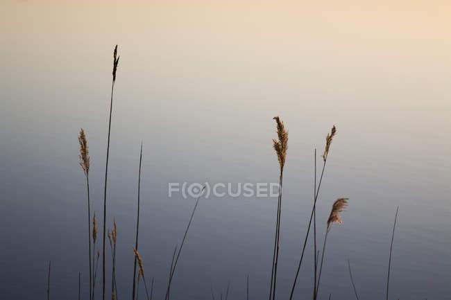 Hohe Gräser stehen über einem ruhigen Teich — Stockfoto