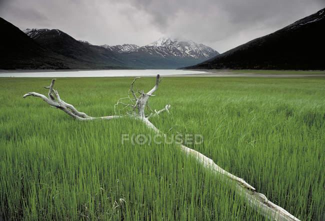 Fallen tree in Alaska Marsh — Stock Photo