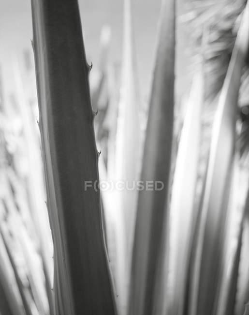 Крупним планом вигляд рослини, алое віра у знаменита сади, Марракеш — стокове фото