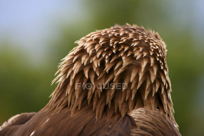 Vista posteriore di testa dell'Aquila dorata — Foto stock