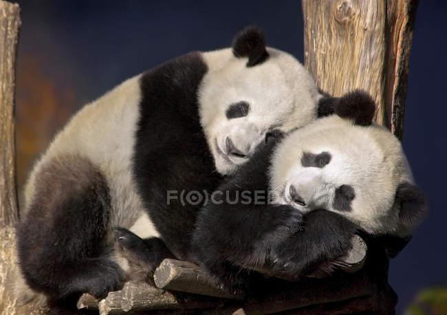 Deux Pandas géants étreindre et dormant sur l'arbre — Photo de stock