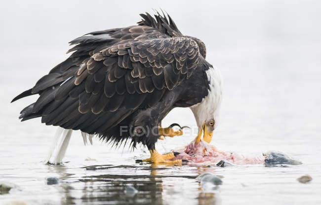 Weißkopfseeadler frisst getöteten Lachs — Stockfoto