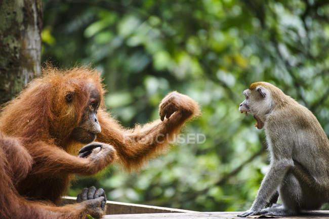 Enfant sumatran orangutan va se battre avec macaque — Photo de stock