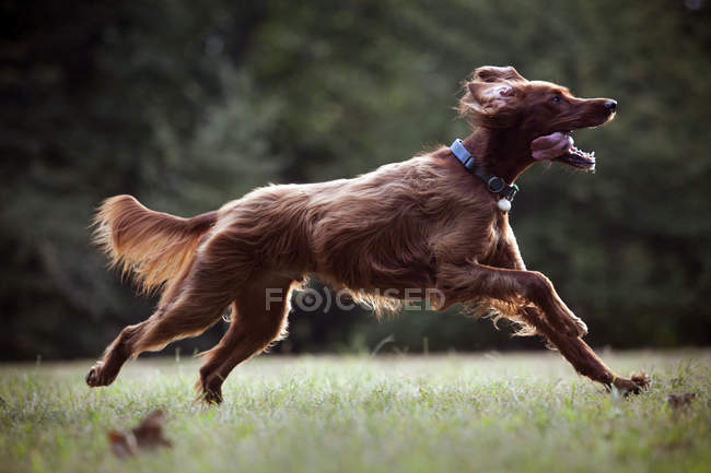 Irish Red Setter Hund läuft auf Rasen — Stockfoto