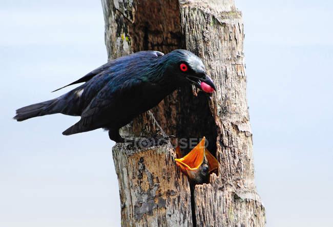 Asiatische glänzend Starling Fütterung Küken mit großen roten Beeren — Stockfoto