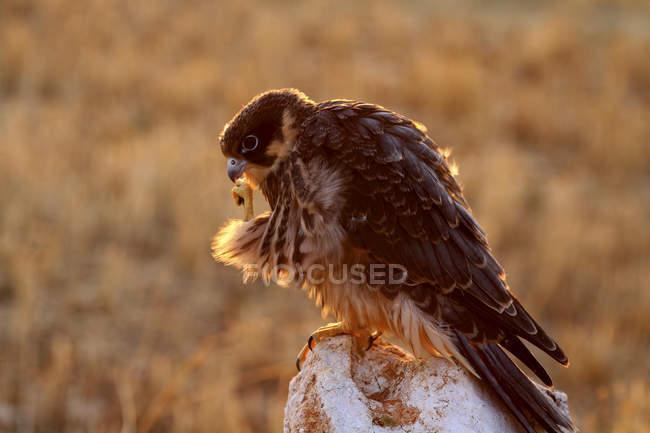 Side view of eurasian hobby bird in sunlight — Stock Photo