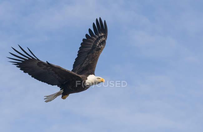 Águila calva volando en cielo azul - foto de stock
