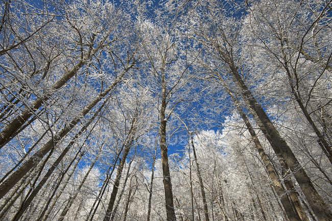 Заснеженные высокие деревья с голубой пасмурное небо — стоковое фото