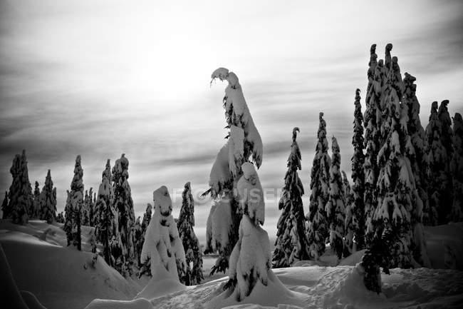 Заснеженные сосны в лесу, черный и белый — стоковое фото