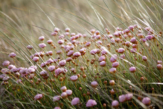 Blühendes Feld aus rosa Wildblumen, Nahaufnahme — Stockfoto