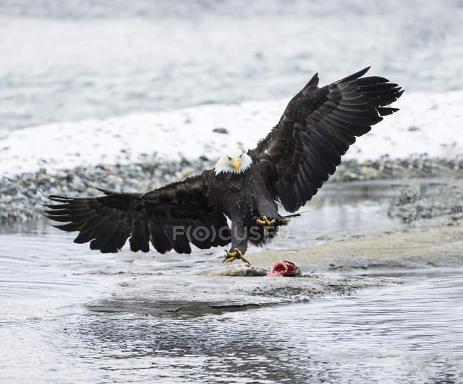 Weißkopfseeadler mit ausgebreiteten Flügeln über getöteten Lachs — Stockfoto