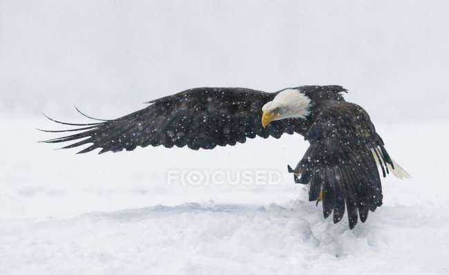 El águila calva se despega de la superficie cubierto de nieve - foto de stock