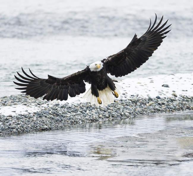 Águila calva en vuelo sobre la orilla del río - foto de stock