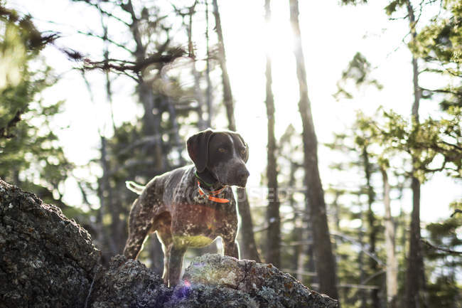 Hunting dog standing on rock in sunlight — Stock Photo