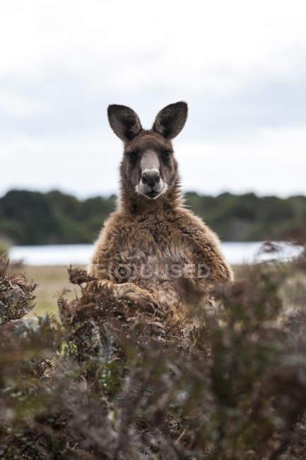 Kangourou adulte se dresse parmi les buissons et regardant la caméra — Photo de stock