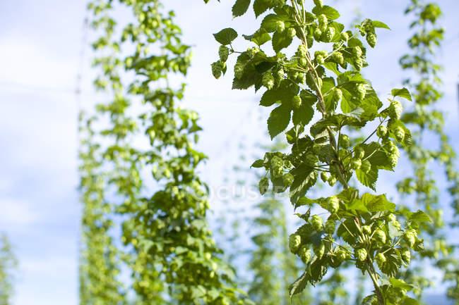 Пишні зелені хмелю, росте на плантації, крупним планом постріл — стокове фото