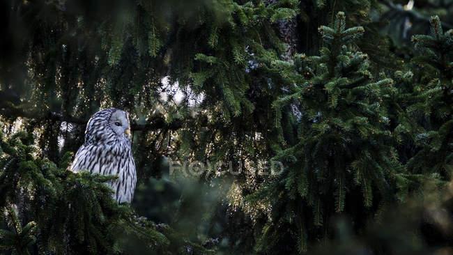 Сова, опираясь на еловые ветки в лесу — стоковое фото