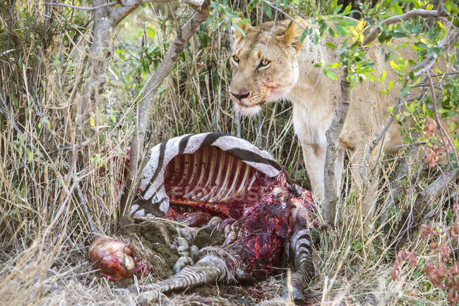 Lioness eating killed zebra in Maasai Mara, Kenya — Stock Photo