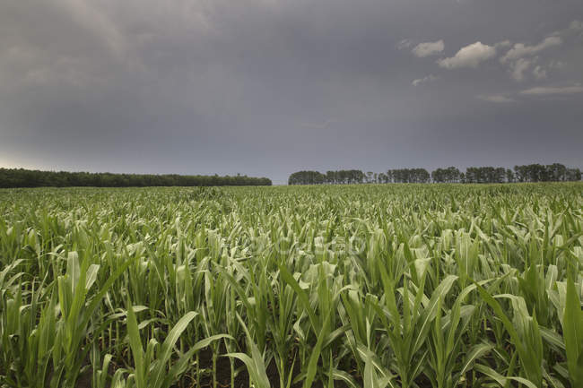 Grünes Maisfeld unter dem Abendhimmel — Stockfoto