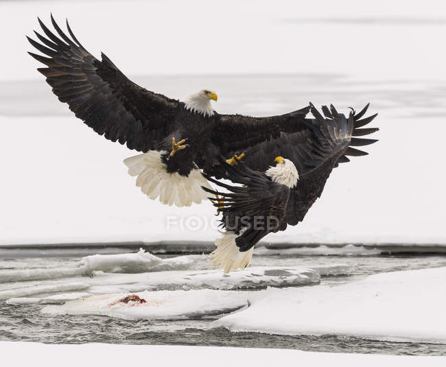 Águilas luchando sobre salmón en vuelo - foto de stock