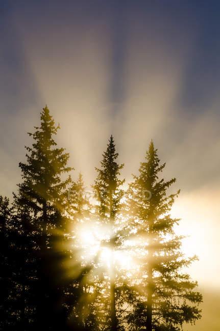 Brilhante luz dourada brilhando através de pinheiros — Fotografia de Stock