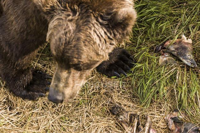 Grizzlybär mit getötetem Sockenaugen-Lachs auf grünem Gras, Blick über den Kopf — Stockfoto
